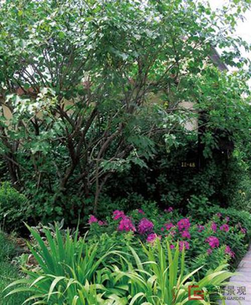 庭院为什么不宜种植大树?